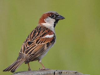 Pardal Comum // House Sparrow