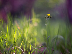 (~janne) Tags: flower 50mm dof bokeh f14 natur blumen janne wetzlar leitz janusz summiluxr ziob