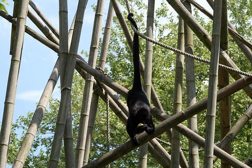 Siamang Gibbon mit Apfel