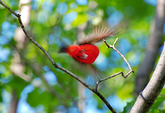 (Howland Studio) Tags: bird nature scarlet flying branch massachusetts flight newengland vivid cambridgema scarlettanager redbird