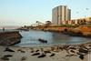 seals (wmliu) Tags: california ca sunset sea usa us cove lajolla seal wmliu