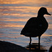 What's up Duck? Photo: Peter Dobrzanski, Forked Lake NY
