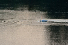 Swan and Cygnet DSC_4367 by Mully410 * Images