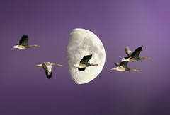 Geese and Moon refurbished (Holland Foto Art (sometimes on, mostly off)) Tags: sky moon holland nature netherlands birds geese nikon nederland natuur goose gans ganzen zoetermeer zuidholland maan d90 impressedbeauty nikond90 flickraward platinumheartaward franshofstede franshofstede flickraward5 mygearandme mygearandmepremium mygearandmebronze mygearandmesilver mygearandmegold hollandfotoart hollandfotoartnl mygearandmeplatinum onlythebestofnature flickrawardgallery ringexcellence dblringexcellence tplringexcellence aboveandbeyondlevel1 eltringexcellence aboveandbeyondlevel2 aboveandbeyondlevel3