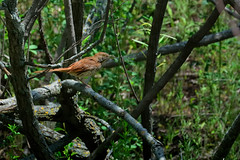 Brown Thrasher DSC_7201 by Mully410 * Images