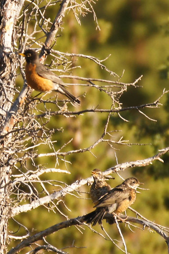 Young Robins and Parent