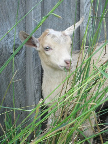 Anza the goat baby by elizabeth's*whimsies