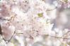 Cherry Blossoms at Morning Park (Zunten) Tags: morning flower japan zeiss tokyo carl 桜 cherryblossom 日本 sakura 東京 花 ricoh cy 櫻 さくら サクラ 朝 gxr minamiazabu 有栖川公園 南麻布 有栖川宮記念公園 arisugawapark planar1485