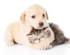 golden retriever puppy dog hugging british cat. isolated on white background (maria sibia kremnitzer) Tags: family two portrait dog pet baby white playing cute love animal cat puppy studio children mammal golden paw hug kitten funny couple labrador friendship little background tabby small group young adorable front retriever domestic relationship together tiny friendly british lovely care breed lying embrace isolated pedigree relations purebred whelp russianfederation lookingatcamera