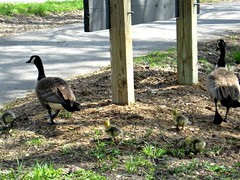LOOK WHO I SAW OUT WALKING (Visual Images1) Tags: light geese pond babies shadows 6ws walk picmonkey