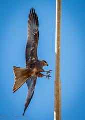 Little Eagle (I Think) (Grumblie) Tags: bird eos wildlife australia raptor wa derby cxanon