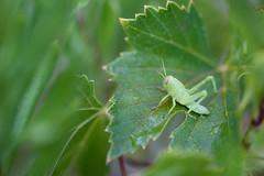... el ultimo habitante de mi jardn ... (Device66) Tags: green grasshopper saltamontes mijardn nikon 105mm mis parras