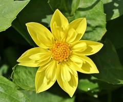 yellow dahlia.................... (Suzie Noble) Tags: dahlia yellow yellowdahlia flower garden strathglass struy