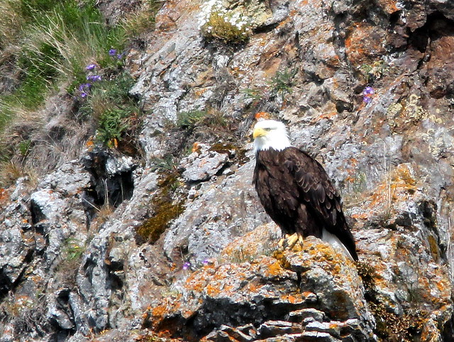 Bald Eagle on rock face 20110622