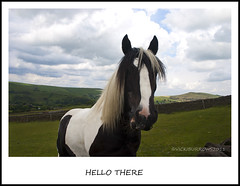 HELLO THERE (vicki127.) Tags: trees field grass mouth nose eyes canon300d derbyshire peakdistrict ears hills vicki drystonewall mane shirehorse burrows fluffyclouds digitalcameraclub kettleshulme thisphotorocks ilovemypics june2011 adobephotoshopcs5 ringexcellence ringofexcellence dblringexcellence vicki127
