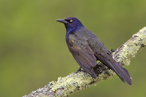 Lichen Branch Perched Grackle by Jeff Dyck