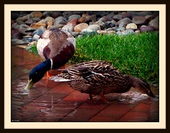 Ducks in Long Branch (Free Of The Demon) Tags: usa beautiful birds america wow nj ducks shore jersey anthony picturesque longbranch smrgsbord bej ysplix beautyunnoticed onewordwow gr8photo freeofthedemon edcarbo