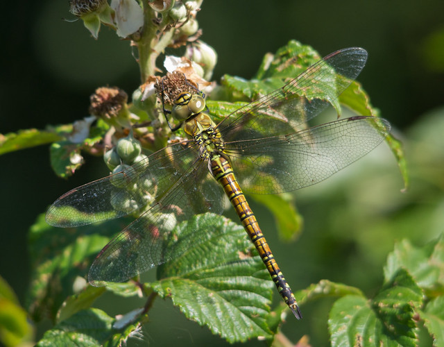 southern migrant hawker female 2