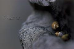 Snuggled Snails (jonesylife) Tags: macro beach rock nikond100 snails nestled sigma105mm