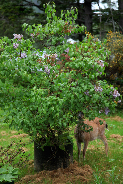 deer partially behind tree, Kasaan, Alaska