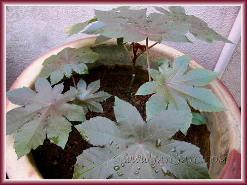 Ricinus communis (Castor Bean, Castor Oil Plant) seedlings thriving well in our garden, June 30 2011