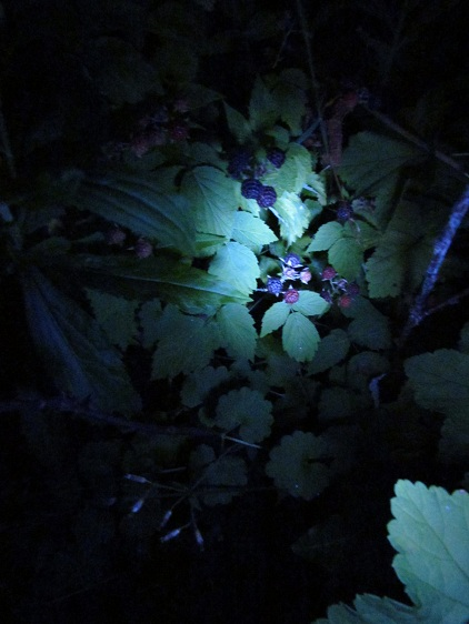 Blackberries In the Dark