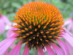 flower coneflower