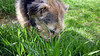 Think I'm a cow (yarisumh) Tags: border terrier eatinggrass
