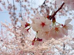 P1060814 (isml426goz7b83j1wetp) Tags: pink festival japan cherry cherries blossom blossoms cherryblossom sakura aichi 2012 ichinomiya yedoensis prunusxyedoensis