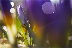 20120415. Crying crocuses. 6040. (Tiina Gill (busy)) Tags: morning plant flower nature spring estonia crocus raindrops waterdrops coth supershot bej artofimages coth5