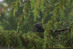 A Very Wet Crow (R. Sawdon Photography) Tags: trees wet rain rainyday crow blackbird corvusbrachyrhynchos wetbird commoncrow rsawdonphotography