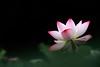 IMG_2302V (HL's Photo) Tags: flower macro nature lily lotus 花 植物 荷花 蓮花 植物園 macroflower 100commentgroup macronatural 微鉅 blinkagain