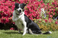 Ben is loving the sunshine (kw2p) Tags: portrait dog collie canine tricolor bordercollie animalportrait