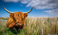 I See You (artursomerset) Tags: world animal photography cow nikon cattle tokina highland awards exmoor d5300 micarttttworldphotographyawards micartttt