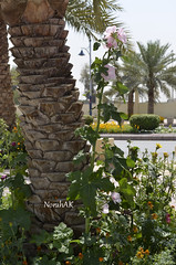 Nature (Norah_Studio) Tags: life street morning pink flowers trees light sky brown green nature colors beautiful leaves yellow butterfly garden palms nikon joy bee relaxation riyadh alqasr d5100 nikond5100 d5100nikon