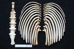 RibsSternum (JRochester) Tags: male skeleton deer ribs bone fallow dama sternum osteology