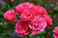 Roses for Sunday (Eleanor (No multiple invites please)) Tags: roses pinkroses garden stanmore uk nikond7100 august2016