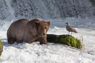 Seaguls Bears at Brooks Falls