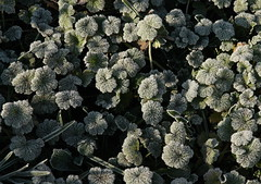 Early frost (Sappho et amicae) Tags: frost flora eljkagavrilovi