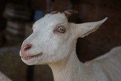 Goat at The Pumpkin Patch (pete4ducks) Tags: platinumheartaward goat oregon animal island portland fall 2016 suaveisland bellaorganic pumpkinpatch sonyalpha autumn rural sauvieisland farm