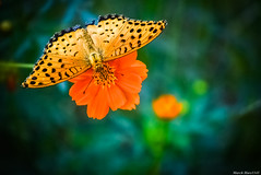 / Argyreus hyperbius (March Hare1145) Tags: flower  plant   cosmos   butterfly  macro
