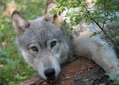 Wenaha wolf (shot by poachers in Oregon)