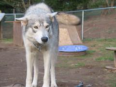 Wolfdog female (backyard breeder)