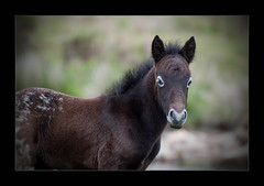 Lone Ranger's Pony (Paul Jarvis (PJPlym)) Tags: england west south pony lone range dartmoor foal