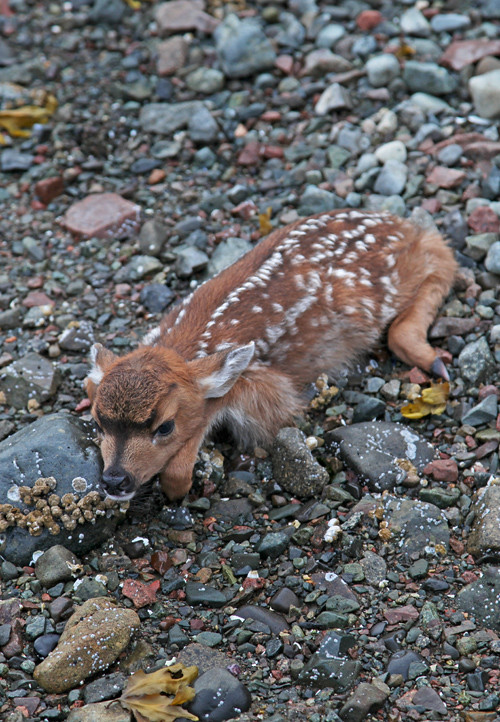 fawn on beach, Kasaan, Alaska