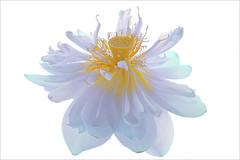 Lotus Flower - IMG_487-b-1000 (Bahman Farzad) Tags: flower macro yoga peace waterlily lotus relaxing peaceful meditation therapy lotusflower lotuspetal lotuspetals lotusflowerpetals lotusflowerpetal
