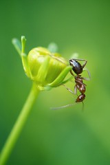 Wood ant on a coreopsis flower bud (Dean Gulstad) Tags: bokeh explored