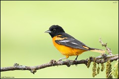 Baltimore Oriole (Male) (www.matthansenphotography.com) Tags: orange black detail male bird nature leaves animal branch michigan background wildlife perch grasses pods avian songbird plumage baltimoreoriole oriole icteridae icterusgalbula catchlight thornlesshoneylocust avianexcellence matthansen