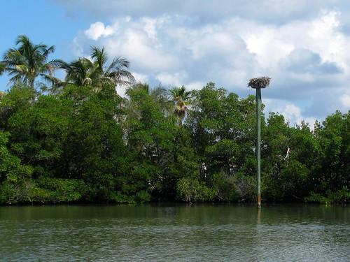 IMG_5794-Estero-Bay-osprey-nest