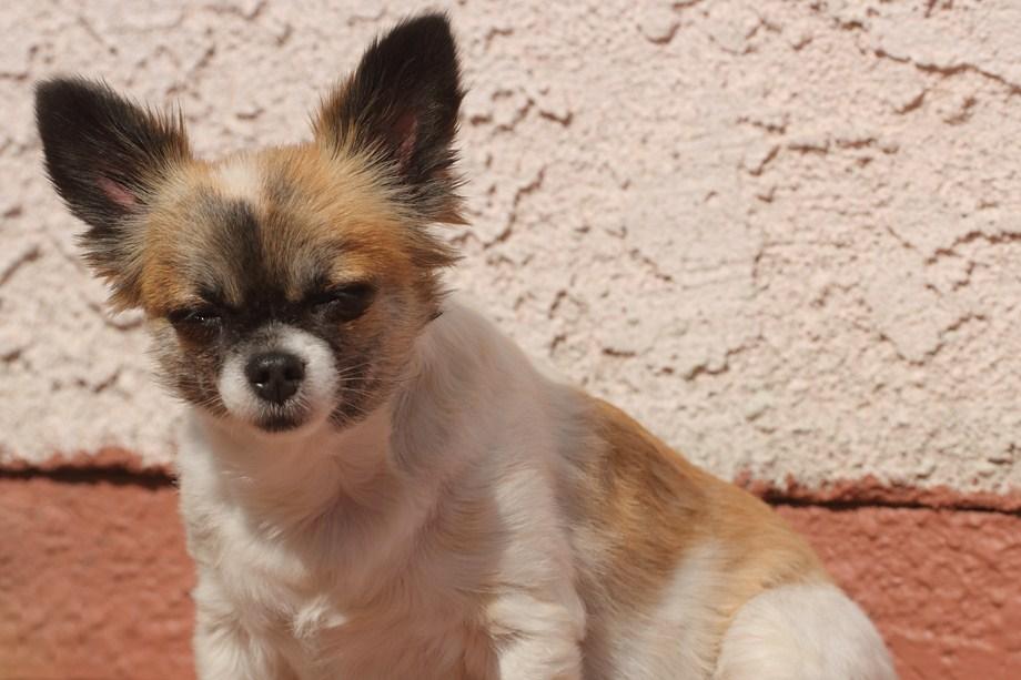 chihuahua 062511
